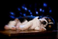 Snoozing 2 (raul2digital) Tags: lighting dog pet beagle lensbaby puppy speedlight strobe beaglepuppy lumiquest raulkling