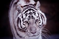 Cross-Eyed (the Snow Tiger) Tags: cub tiger siberian siberiantiger whitetiger amur amurtiger pantheratigris flickrbigcats