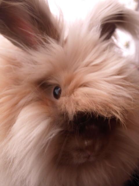 ... English Angora (Dawning Dreams) Tags: rabbit bunny chocolate angora