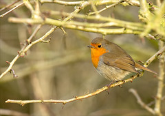 Little Grump (Photography by Clare Scott) Tags: robin scott photography clare european erithacus 2012 rubecula