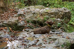 Dudley swimming (Angie Antimatter) Tags: autumn trees dog tree fall dogs leaves swimming louisiana hiking pitbull trail swimminghole