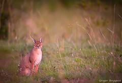 _DSC8256.jpg (Gregor Bergquist) Tags: kenya wildlife caracal masaimara karakal sopaarea