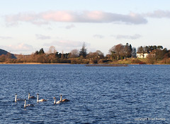 Lindores (B4bees) Tags: blue house nature water birds flow scotland wind fife feathers swans current cygnets newburgh bobbing wintering lochlake lindoreshouse