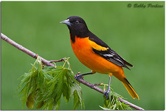 Baltimore Oriole (Bobby Perkins) Tags: bird nature birds photography all wildlife orioles natures songbird songbirds baltimoreoriole oriole icterusgalbula level2 level1 passerines perchingbirds physis bobbyperkins allofnatureswildlifelevel1
