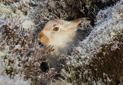 Mountain Hare (Lepus timidus) 0857 (Highland Andy (Andy Howard)) Tags: park winter mountain andy up scotland hare close coat highland national cairngorm lepus timidus mountainhare