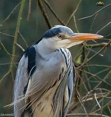 Henry (sarniebill1) Tags: copyright heron ngc full henry npc noisy coth supershot specanimal itsawonderfulworld magnificentbird avianexcellence coth5 sarniebill1 nigelwedge