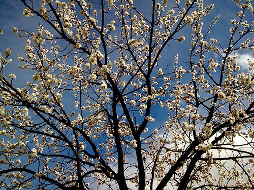 Flowers Apricot trees