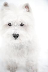 white on white (paulh192) Tags: family winter dog white cute kirby nikon michigan westie canine terrier grandrapids westhighland snowdog