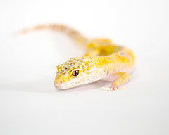 Leopard Gecko (cougarkeeper0) Tags: california pet macro male yellow fauna nikon reptile gecko nikkor leopardgecko sunglow
