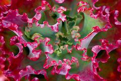 Cactus lettuce !! (saahmadbulbul) Tags: urban landscape naturallight australia melbourne cannon gettyimages stockphoto landscapephotography salahuddinahmadphotography cheapstockphoto sellphotosonline australianstockimages