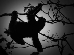 moonlit  3 toed sloth (gruntpig) Tags: park light bw moon 3 black tree nature animal fur mammal climb three furry branch slow moonlit national sloth creature cahuita threetoedsloth toed whiye