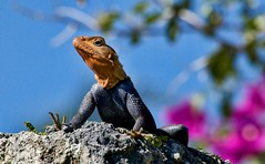 African Rainbow Lizard, Agama agama africana (Partridge Road) Tags: castle coral museum rainbow florida miami african lizard africana agama
