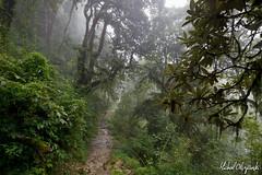 Rhododendron forests shrouded in mist (Michał Olszewski) Tags: nepal mist tree clouds forest asia rhododendron land shrub himalayas acap tropicalforest gandaki kaski annapurnaconservationarea geographicalfeatures annapurnaconservationareaproject