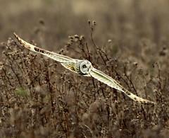 Short-eared Owl (DavidAlan48) Tags: birdperfect