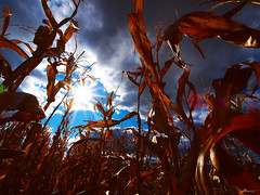 lost (paul bica) Tags: sky sun plant history nature field vertical clouds rural work creativity lost paul outdoors hope high corn europe solitude quiet shadows escape close view angle general alba path unique air hill rich wide perspective roots ground evolution growth soil direction vision crop romania dreams land nostalgic imagination giants tall aim elusive void agriculture relaxation scape transylvania past leafs legend narrow exclusive dex picking indulgence secluded seize vast entangled hunedoara seduced mesmerize evasive dexxus 20111016rom1735d