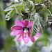 Flora dopo Ocros (prov. Ayacucho) (4)