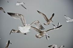 skies full of gulls and snow! (benrobson2999) Tags: sky snow beach birds kent seagull deal