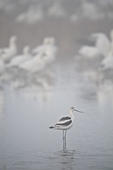 Avocet Hangs Out With The Geese (howardignatius) Tags: california birds fog snowgeese avocet mercedwildliferefuge swaplands