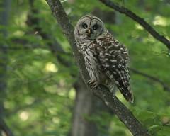 Barred Owl (U.S. Fish and Wildlife Service - Midwest Region) Tags: michigan owl bird birding nationalwildliferefuge nwr refuge seney wildlife animal barredowl mi publicland