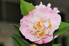 () Tags: iso200 camellia f13 camelliajaponica 1050mm friendlyflickr nikoncorporation japanesecamellia  160secs  nikond300s    20120207114517