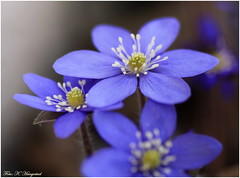 Hurrah, it's spring! (K. Haagestad) Tags: flowers macro spring bloom blåveis blueanemone infinitexposure