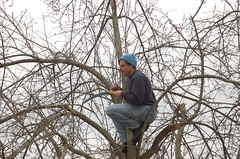 "Steve's Apple Pruning Acrobatics <a style=""margin-left:10px; font-size:0.8em;"" href=""http://www.flickr.com/photos/91915217@N00/13528576274/"" target=""_blank"">@flickr</a>"