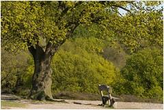Bankje (HP010916) (Hetwie) Tags: tree nature bench nederland natuur boom mook heide limburg natuurmonumenten bankje mookerheide