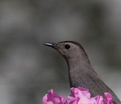 Giving me the Eye   1Z9A7595 (DCLbyrdnyrd) Tags: bird eyes gray rhododendron catbird