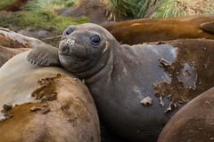 Elephant Seal In Moult (Barbara Evans 7) Tags: elephant georgia south barbara seal moult in evans7
