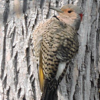 Pic flamboyant, femelle, forme dorée - Northern Flicker, female, golden form........3 mai 2016........DSCN23493