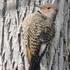 Pic flamboyant, femelle, forme dorée - Northern Flicker, female, golden form........3 mai 2016........DSCN23493 (Diane.G.) Tags: picflamboyant northernflicker pic flicker oiseaux birds eblouissantenature thesunshinegroup youlookinatme coth naturescarousel coth5 alittlebeauty faunaandflora fantasticnature photossansfrontières lapetitegalerie ayezloeil realbutee confidentialisthebest onceinyourlife collectionparimpatience avianexcellence dmslair sacrednature myhatsofftoyou naturethoughthelens livingjewelsofnature preciouslivingofnature mothernature anaturecanvas