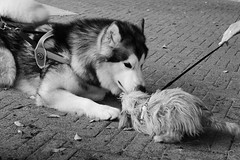 Dogs in love (ILARIA GENOVESE) Tags: dogs dog black white blakandwhite love milazzo sicily italy photo blackwhite