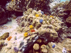 Koh Tao (Scuba Diving), Thailand (Jan-2016) 14-069 (MistyTree Adventures) Tags: ocean sea water coral thailand twins marine asia seasia underwater outdoor diving scubadiving kohtao gulfofthailand panasoniclumix