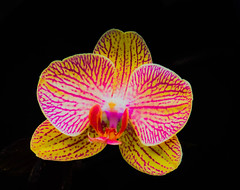 _1210641 (5816OL) Tags: flowers dad orchids arboretum arboretum2016