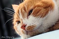 Sambal (Mone-Photography) Tags: red pet cats pets cat kitty pussycat redcat kittycat