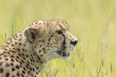 portrait (charlesgyoung) Tags: africa tanzania nikon safari cheetah d3 serengetinationalpark charlesyoung nikonfx nomadtanzania karineaignerphotographyexpedition