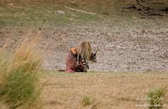 _DSC9346 (1280x834) (www.thetravelinfo.net) Tags: tiger ranthambhore tigerkill