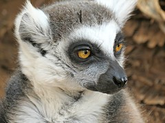 The ring-tailed lemur (Lemur catta) (Linda DV) Tags: travel animal fauna geotagged zoo monkey spain canarias tenerife canaryislands 2016 monkeypark geomapped lindadevolder