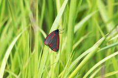 Cinnabar Moth (145/366) (AdaMoorePhotography) Tags: uk red wild england sun black green nature grass insect outside countryside spring nikon natural wildlife moth sunny gb marsh essex marshland marshes cinnabarmoth 200500mm d7200