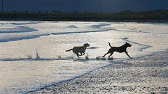 DOGS PLAYING (TT  FAUGHAN) Tags: uk ireland sea dog playing beach fun sand waves down co splashing tyrella lecale