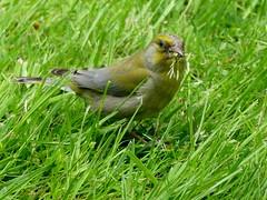 wow (BrigitteE1) Tags: food green bird wow garden backyard seed vegetarian gras greenfinch carduelischloris vegetarier grnfink specanimal vegetablefood