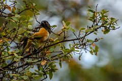 Spotted Towhee (Goutam.Krishnamoorthy) Tags: arizona orange lake black bird nature animal spotted prescott towhee yavapai lynxlake