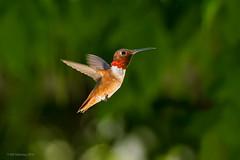 Male Allen's Hummingbird (halladaybill) Tags: california male bokeh coronadelmar frozenmoment allenshummingbird selasphorussasin