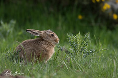 28-05-2016 Leveret 1 (zandy1978) Tags: nature hare wildlife leveret