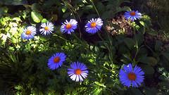 blueflower (jurinkof) Tags: fleurs blten blauen  kvety bleues modr  kvty