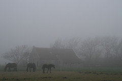 Horses and mist 1 (Seapony) Tags: trees horses mist misty terschelling farmhouse seapony waddenisland