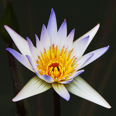 Purity (Nikita Hengbok) Tags: flowers plant tree nature flora waterlily lotus naturephotography waterplant fantasticflower masterphotos floraphotography takenwithlove mindigtopponalwaysontop lovelyflickr