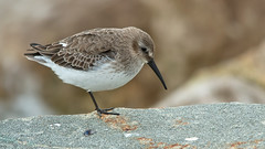 dunlin on the rocks (blackfox wildlife & nature imaging) Tags: nature birds wales nikon dunlin seabirds rhosonsea d7000 sigma150500mmos