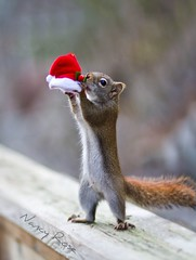 Catch the spirit of the season  ;-) (Nancy Rose) Tags: santa christmas wild hat standing smell catch sniff squrrel