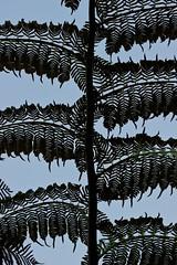 Botanical series 6 (Deb Jones1) Tags: trees fern macro tree green nature beauty leaves canon garden outdoors 1 jones leaf flora explore ferns deb botanics flickrduel
